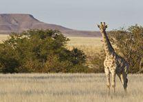 giraffe Damaraland - Damaraland - Namibië - foto: lokaal agent