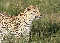 luipaard - Namibië - foto: Martijn Visscher