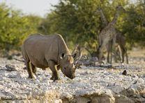 neushoorn Ongava - Etosha - Namibië