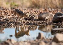 jakhals Ongava - Etosha - Namibië