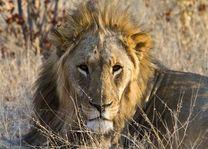 leeuw - Etosha - Namibië
