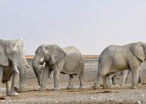 olifant - Etosha - Namibië - foto: rechtenvrij