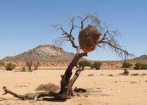 Weaver tree - Kalahari - Namibië - foto: rechtenvrij