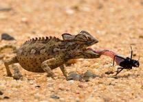 Kameleon - Swakopmund - Namibië - foto: rechtenvrij