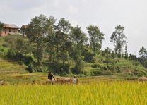 rijstveld - Kathmandu Vallei - Nepal