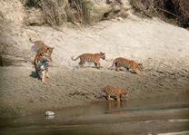 tijgers in Bardia - Bardia - Nepal - foto: Lokale agent