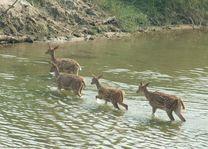 herten in het water in Bardia - Bardia - Nepal - foto: Lokale agent