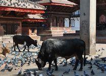 koeien en duiven op Kathmandu Square - Kathmandu - Nepal