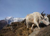 yak bij Namche - Namche - Nepal - foto: Archief