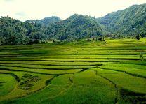 rijstvelden in de omgeving van Balthali - Balthali - Nepal - foto: Archief