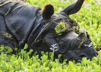 neushoorn nabij het Kasara Resort Chitwan - Kasara Resort Chitwan - Nepal - foto: Archief