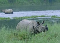 neushoorn in het Chitwan National Park (2) - Chitwan National Park - Nepal - foto: Barahi Jungle Lodge