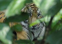tijger in het Chitwan National Park - Chitwan National Park - Nepal