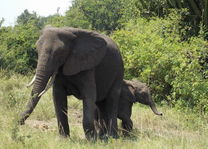 olifanten QE - oeganda
