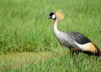 Kraanvogel - oeganda - foto: Archief