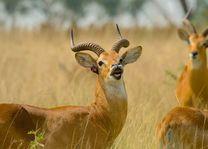 Kob - oeganda - foto: Archief