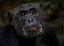 Chimpansee in Kibale National Park (2) - Kibale National Park - Oeganda - foto: Robert van Hall