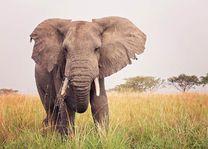 dreigende olifant in Oeganda - oeganda - foto: Robert van Hall