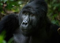 gorilla in Bwindi - Bwindi - Oeganda - foto: Robert van Hall