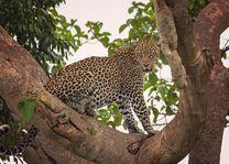 luipaard in Ishasha - Ishasha - Oeganda - foto: Robert van Hall