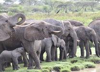olifanten - Tanzania - foto: Martijn Visscher