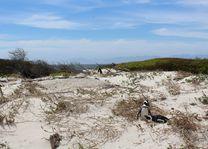 pinguin Boulders Beach - Kaapstad - Zuid-Afrika
