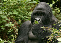 Gorilla in het Volcanoes National Park - Volcanoes National Park - Rwanda - foto: Lokale agent