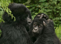 Gorilla's in het Volcanoes National Park - Volcanoes National Park - Rwanda - foto: Lokale agent