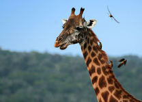 Giraffe in het Akagera National Park - Akagera National Park - Rwanda - foto: Lokale agent