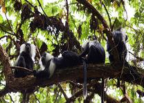 Colobus aapjes in het Nyungwe National Park - Nyungwe National Park - Rwanda - foto: Lokale agent