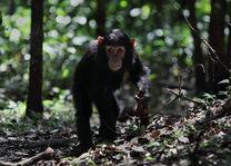 Chimpansee in het Nyungwe National Park - Nyungwe National Park - Rwanda - foto: Lokale agent