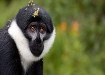 Aap in het Nyungwe National Park - Nyungwe National Park - Rwanda - foto: Lokale agent