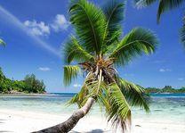Palmboom - Seychellen - foto: Seychelles Tourist Office