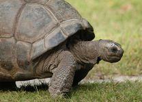 Schildpad - Silhouette - Seychellen - foto: Seychelles Tourist Office