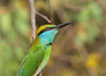 Groen vogeltje- kleine groene bijeneter - Yala National Park - Sri Lanka