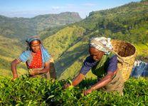 Theeplukkers, theeplantage - Sri Lanka - foto: Archief