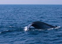 staart van een walvis in Sri Lanka - Sri Lanka