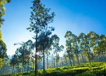 bomen in Sri Lanka - Sri Lanka - foto: Archief