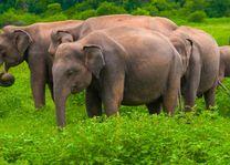 olifanten in Sri Lanka - Sri Lanka