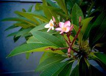 frangipani - Sri Lanka - foto: Mieke Arendsen