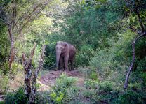 olifant in Wilpattu - Wilpattu - Sri Lanka - foto: Mieke Arendsen