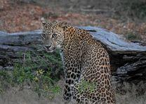 luipaard in het wild (1) - Sri Lanka