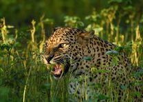 luipaard in het wild (2) - Sri Lanka