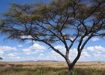 boom op savanne - Serengeti - Tanzania