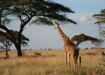 giraffe bij boom - Serengeti - Tanzania