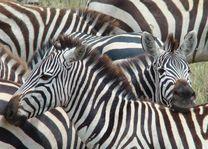 zebra's - Serengeti - Tanzania