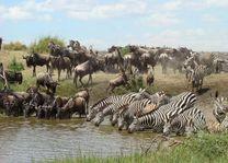 gnoe en zebra drinkend - Serengeti - Tanzania