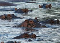 nijlpaarden - Serengeti - Tanzania