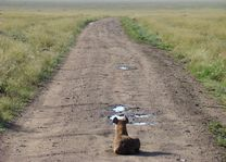 hyena op weg - Serengeti - Tanzania