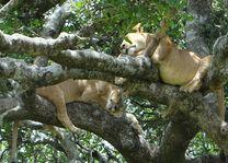 Slapende leeuwen in boom - Serengeti - Tanzania